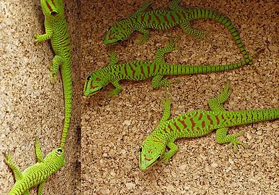 Phelsuma grandis madagascariensis, Jungtiere, Nachzuchten