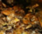 Oophaga histrionica Buenaventura red head Nachzuchten, juveniles