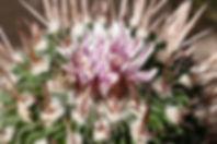 Echinofossulocactus (Stenocactus)  multicostatus zacatecasensis