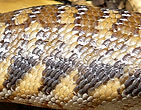 Blauzungenskink Tiliqua scincoides intermedia