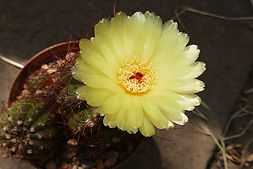 Notocactus arechavaletae