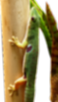 Phelsuma quadriocellata quadriocellata