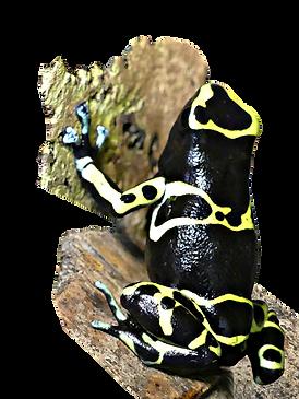 Dendrobates leucomelas Cerro Autana, green feet, grüne Füße