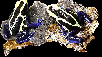 Dendrobates tinctorius cobalt, Kaysergebirge