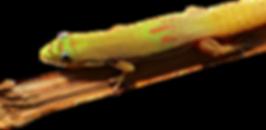 Phelsuma laticauda laticauda Goldstaubgecko Goldstaub Taggecko