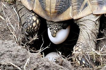 griechische Landschildkröte, italienische, Testudo hermanni boettgeri, Eier legen