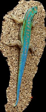 Phelsuma cepediana