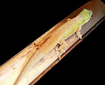 Phelsuma robertmertensi normal