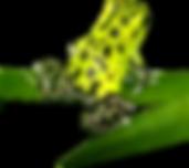 Oophaga pumilio guarumo