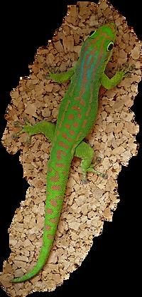 Phelsuma guimbeau, Mauritius Taggecko