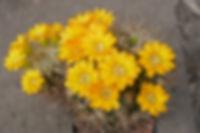 Weingartia pulquinensis