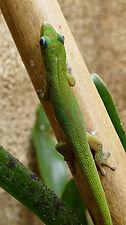 Phelsuma laticauda laticauda, Goldstaub-Gecko Nachzucht, juvenile abzugeben