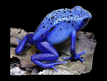 Dendrobates azureus tinctorius