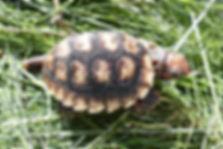 Nachzucht juvenile Rotkopf Köhlerschildkröte Chelonoidis carbonarius (Geochelone carbonaria)