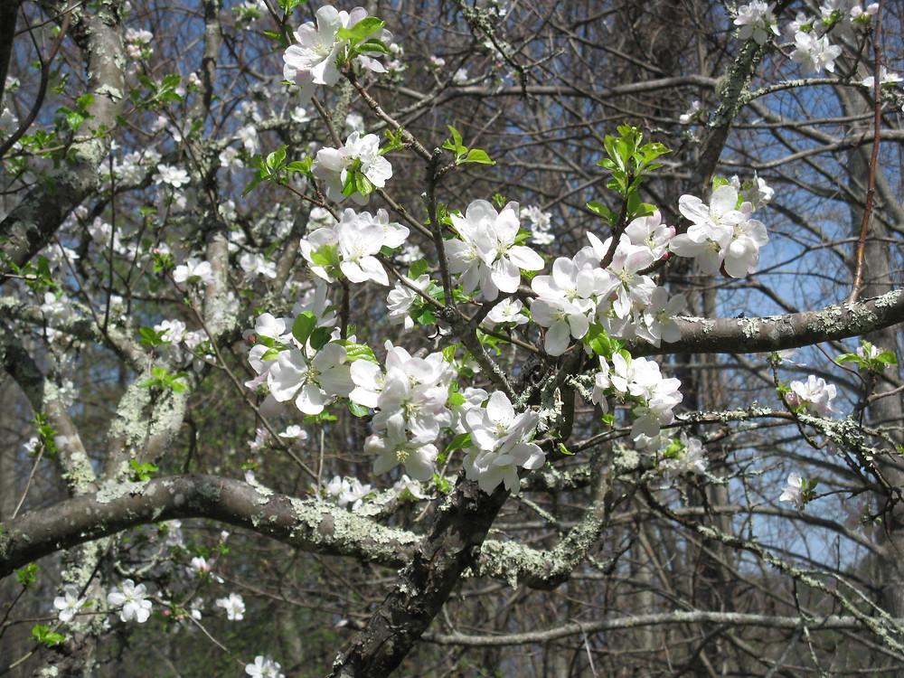 apple blossom closeup.jpg