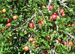 apples-on-tree-for-web