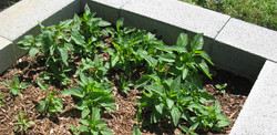 skullcap-in-new-raised-bed-late-May