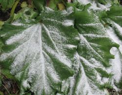 snow-on-rhubarb-leaves