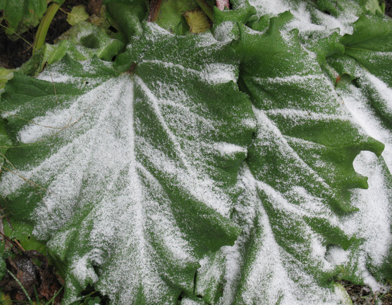 snow on rhubarb leaves