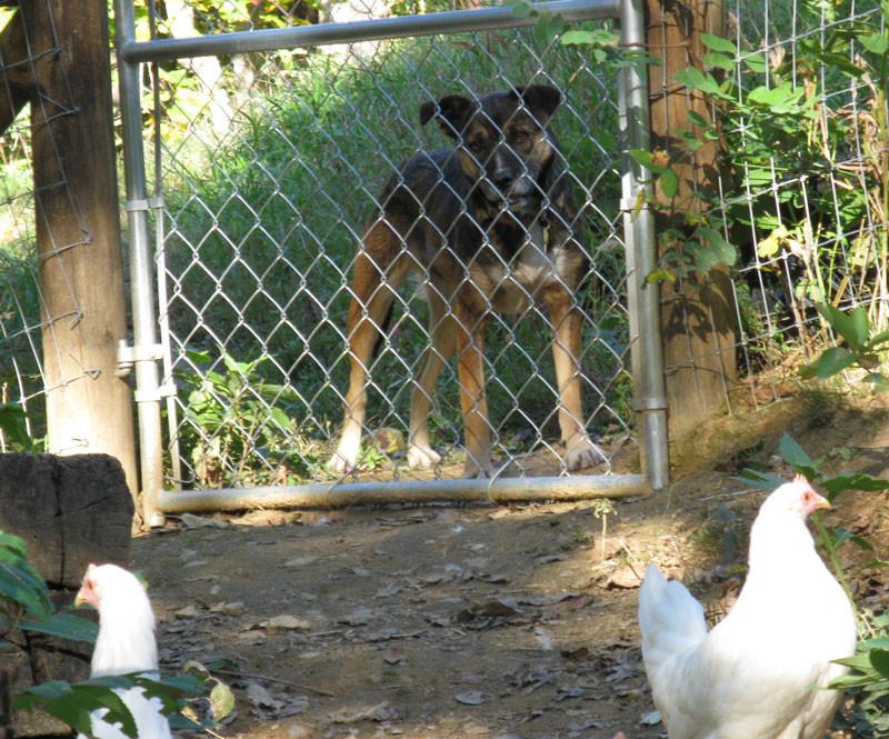 dog at pasture gate