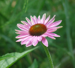 echinacea-for-wix