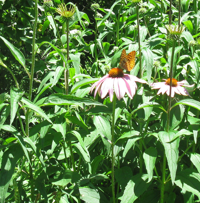 echinacea-with-butterfly-fo.jpg
