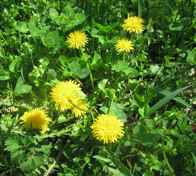 dandelion-flowers-for-wix