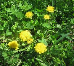 dandelion-flowers-for-wix
