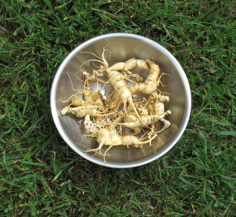 ginseng-root-in-bowl