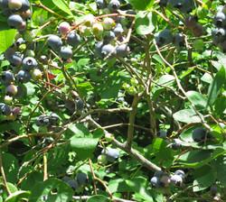 ripening-blueberry-closeup-