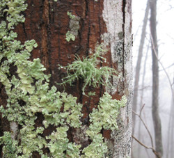 usnea-for-wix