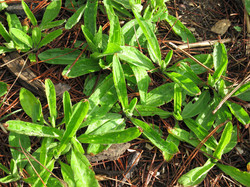 arnica leaves in april