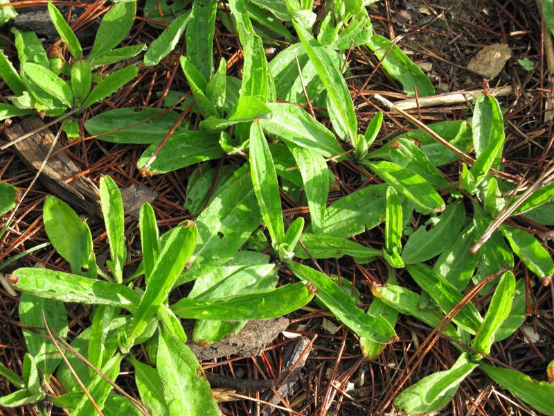 arnica leaves in april.jpg