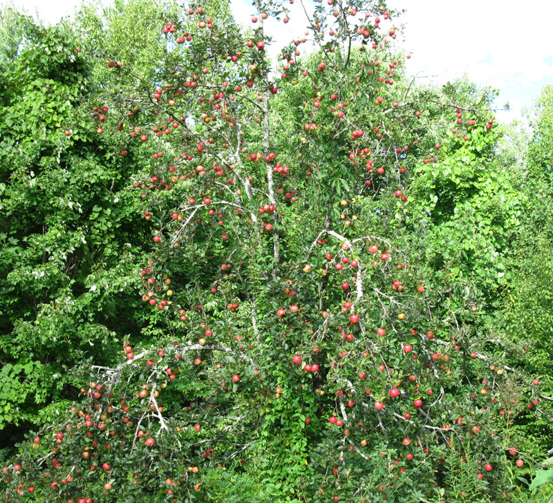 apple-tree-with-ripe-fruit-