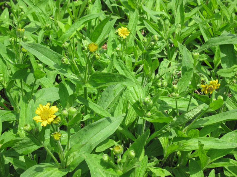 arnica-flowers-for-web