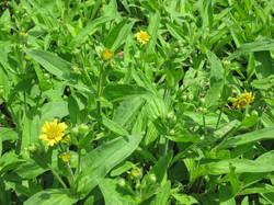 arnica-flowers-for-web
