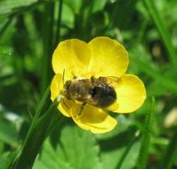 bee-on-buttercup-for-wix