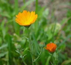 pair-of-calendula-flowers-f