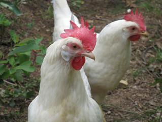 Chickens!