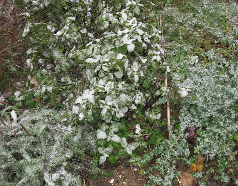 snow on herbs
