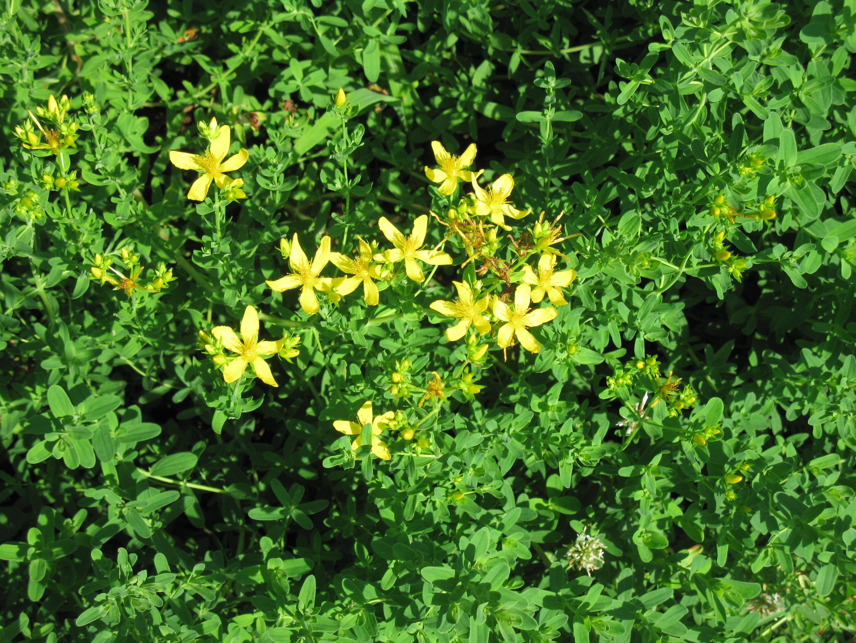 St. Johns Wort flowering