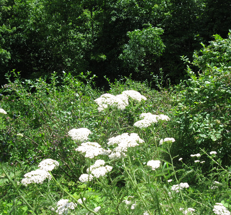 yarrow-for-wix
