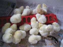 day-old-chicks-for-web