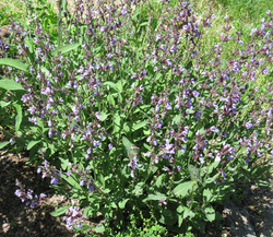 sage-in-bloom-for-web