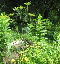 dill,-calendula,-milkweed-f