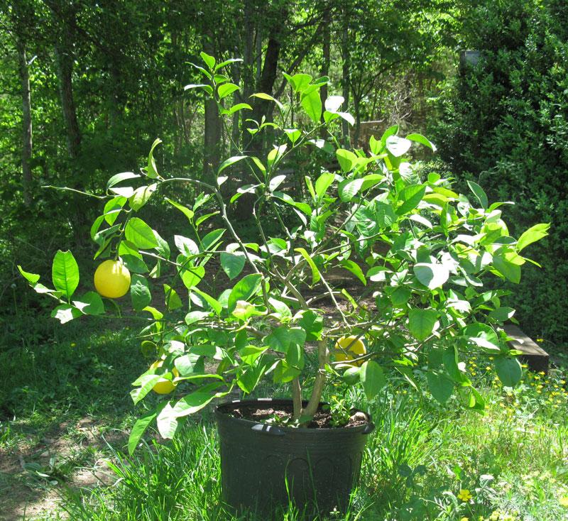 lemon-tree-for-wix