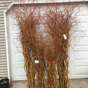 Curly Willow Medium to Tall