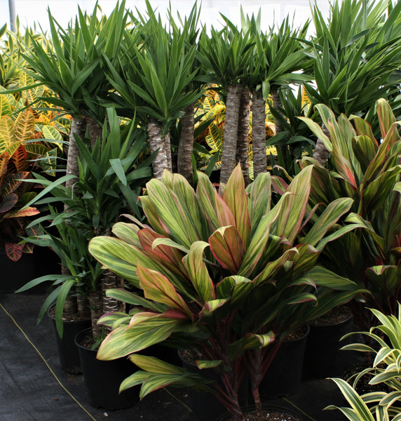 A Greenhouse Full of Tropicals