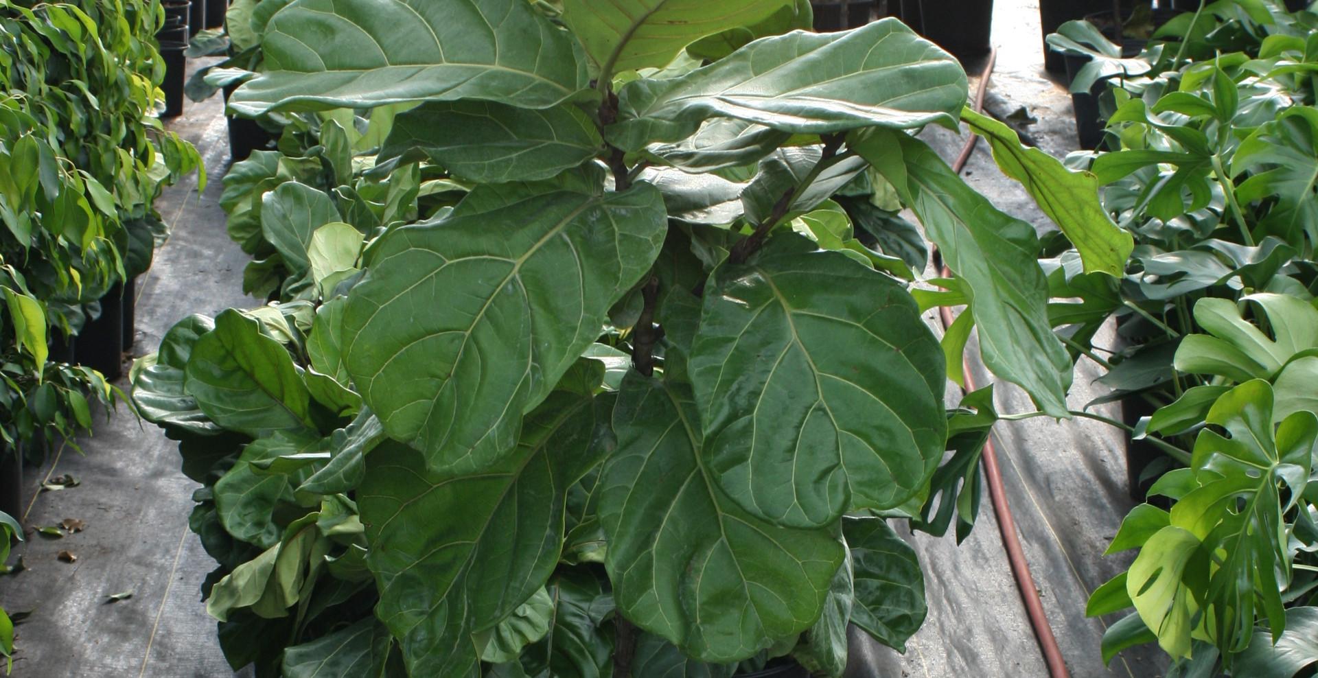 "Ficus Lyrta Standard 10"""