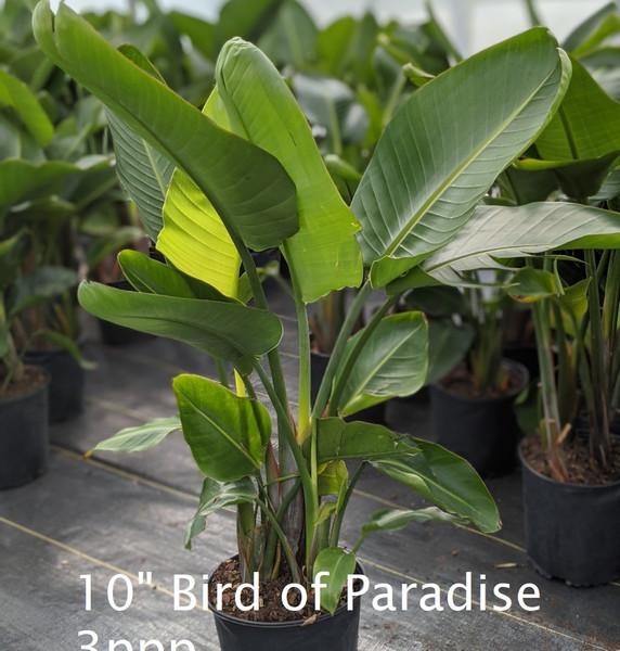 "Bird of Paradise 3ppp 10"""